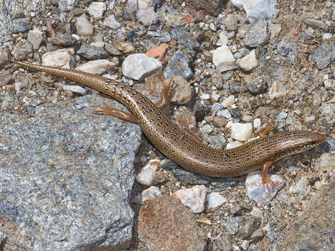 Ocellated skink is harmless species