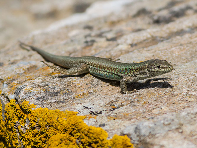 Kythnos's wall lizard is part of reptile species