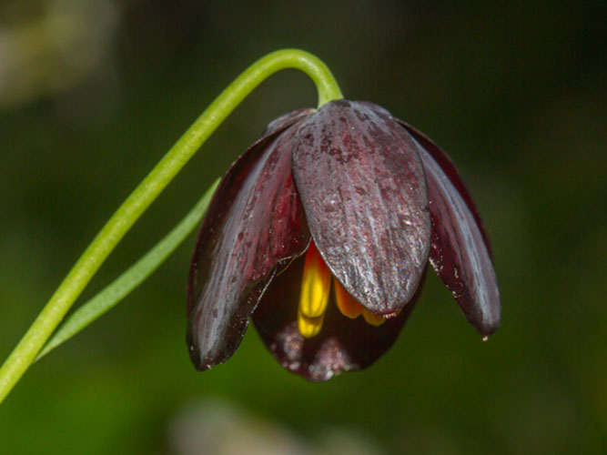 Kythnos's fritillary is model for black tulip