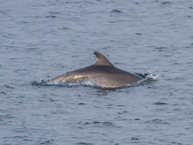 Bottlenose dolphin from Lavrio-Kythnos ferry