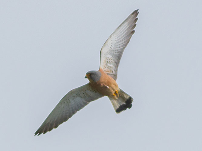 Lesser kestrel flies above Kythnos