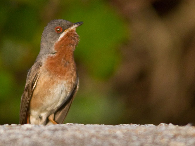 Subalpine warbler on its island perch