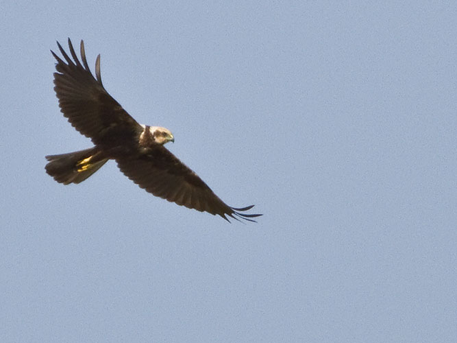 Marsh harrier, one of birds of prey species