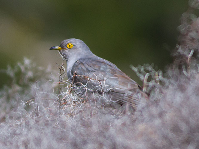 Cuckoo returns each year to the island