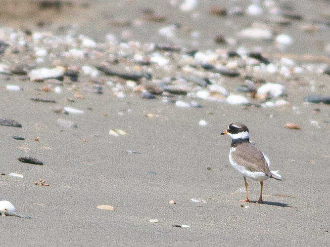 Common-ringed plover on beach, guarding its brood