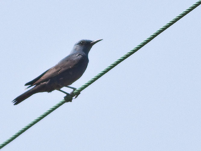 Blue-rock thrush at rest on power line
