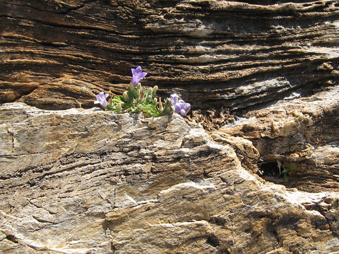 Campanula-reiseri is on endangered red list