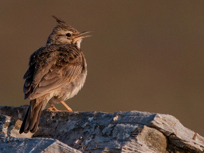 Crested larks are widespread on Kythnos